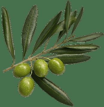 zeytin dalı